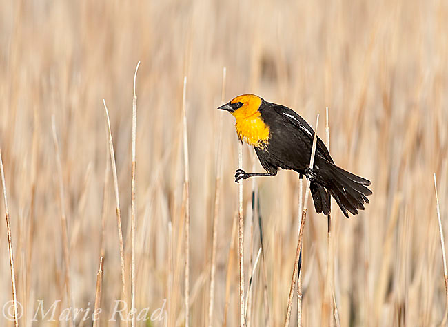 Yellow-headed Blackbird (Xanthocephalus xanthocephalus) male clinging between two cattails, Mono Lake Basin, California, USA