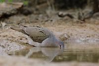 Adult White-tipped Dove (Leptotila verreauxi) drinking from desert water hole. Starr County, Texas. March.