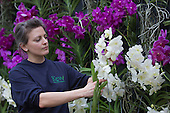 "London, UK. 6 February 2014. Picture: Horticulturalist Amy Moffett at work. The annual orchids festival at the Royal Botanic Gardens, Kew, takes centre stage in the Princess of Wales Conservatory from 8 February to 9 March 2014. This year's theme is ""Orchids: A Plant Hunters' Paradise"". More than 6500 orchids of the Phalaenopsis, Vanda and Cambria hybrids have been worked into colourful displays by a team of 20 people which took 4 weeks to build."