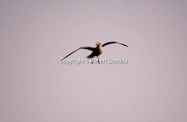 Seagull in flight at Santa Monica
