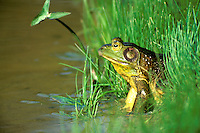 Common frog on the edge of a pond