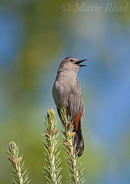 Gray Catbird (Dumetella carolinensis), singing in summer, New York, USA