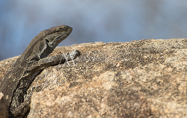 Rock monitors are not quite as pretty as their Nile monitor cousins.