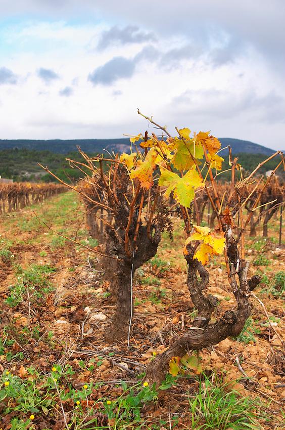 Minervois. Languedoc. Vines trained in Gobelet pruning. Vine leaves. Vineyard in winter. France. Europe. Vineyard.