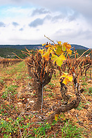 Minervois. Languedoc. Vines trained in Gobelet pruning. Vine leaves. Vineyard in winter. France. Europe. Vineyard.