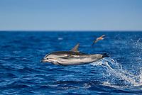 Striped Dolphin, Stenella coeruleoalba, high speed Leaping, Azores-Pico-Portugal, Atlantic ocean