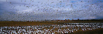 Sandhill cranes and snow geese in a field.