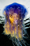 Blue jellyfish (Cyanea lamarckii) photographed in the Lundy Island, United Kingdom, Bristol Channel