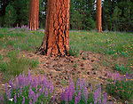 Ochoco National Forest, OR<br /> Scattered patches of lupine among ponderosa pine trunks at Big Summit Prairie in the Ochoco mountains