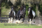 Bob, ANIMALS, REALISTISCHE TIERE, ANIMALES REALISTICOS, horses, photos+++++,GBLA3683,#a#, EVERYDAY