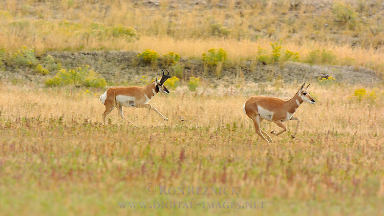 Pronghorn Male and Female Running, North Entrance, Yellowstone National Park, Gardiner, Montana