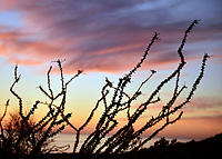 Ocotillo Desert of Sonora. Ocotillo. Desierto de Sonora. Sunset in the Sea of Cortez, Gulf of California.<br /> atardeser en el mar de cortez, golfo de california.<br /> Fouquieria splendens is a species within the genus Fouquieria of the family Fouquieriaceae. It is a flower plant adapted to live in the deserts of the southwest...<br /> <br /> Fouquieria splendens es una especie dentro del género Fouquieria de la familia Fouquieriaceae. Se trata de una planta de flor adaptada a vivir en los desiertos del suroeste. <br /> (Photo:Isrrael Garnica/NortePhoto)