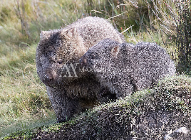 The bare-nosed or common wombat provided loads of photo ops in Cradle Mountain National Park.  They're much larger than I anticipated, and resemble a cross between a bear and a sausage.