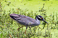 Adult yellow-crowned night-heron about to catch a crayfish