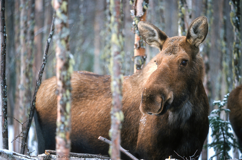 Cow moose stands in a birch forest in the winter month of March, Fairbanks, Alaska