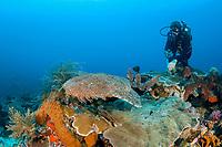 tasselled wobbegong, Eucrossorhinus dasypogon, and scuba diver, Raja Ampat, West Papua, Indonesia, Indo-Pacific Ocean