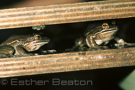 Green and Golden Bell Frogs (Litoria aurea) part of captive breeding program at Australian Reptile Park.