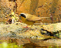 Adult male common yellowthroat at pool at Paradise Pond in April
