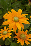 RUDBECKIA HIRTA 'IRISH EYES', GLORIOSA DAISY