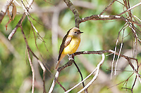 Lemon-Bellied Flycatcher, Yellow Water, Kakadu NP, NT, Australia