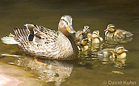 0217-1207  Female Mallard with Ducklings, Anas platyrhynchos  © David Kuhn/Dwight Kuhn Photography