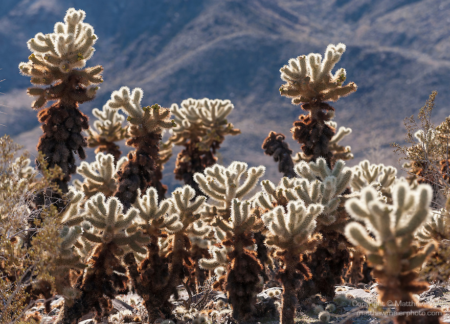 Joshua Tree National Park, California; Cholla Cactus Garden, views of Teddy-Bear Cholla (Cylindropuntia bigelovii) cactus