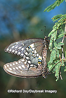 03009-011.05 Black Swallowtails (Papilio polyxenes) mating Starr Co. TX