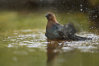 Brown-headed Cowbird (Molothrus ater), adult male bathing, Hill Country, Texas, USA