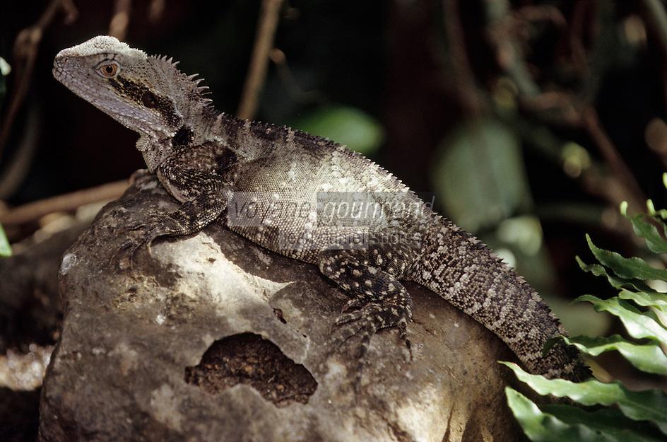 Océanie/Australie/Queensland/Cairns: lézard dans la Rainforest