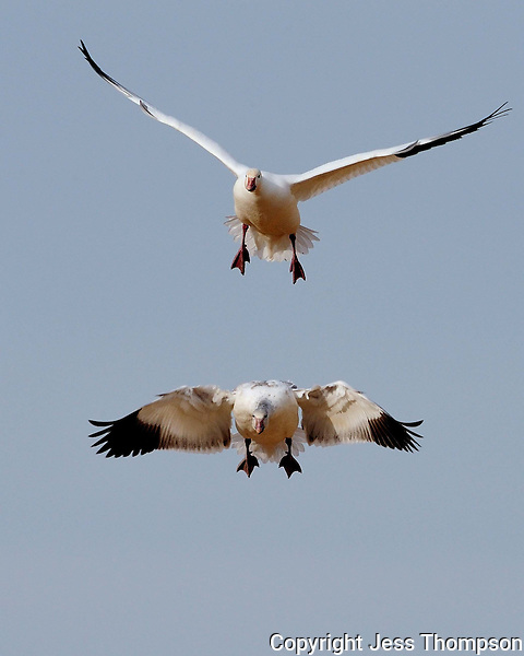 Snow Geese approach a landing at Bosque del Apache NWR, NM