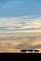 24/10/12 - CHATAIGNERAIE - CANTAL - FRANCE - Elevage de salers - Photo Jerome CHABANNE