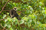 Purple-faced Langur (Trachypithecus vetulus) in tree, Diyasaru Park, Colombo, Sri Lanka