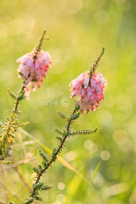 Le domaine du Rayol en f&eacute;vrier : dans le jardin sud-africain, bruy&egrave;re (Erica sp.)<br /> <br /> (mention obligatoire du nom du jardin &amp; pas d'usage publicitaire sans autorisation pr&eacute;alable)