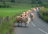 Jersey dairy cows walking down a road, coming in for milking, Whitewell, Lancashire.
