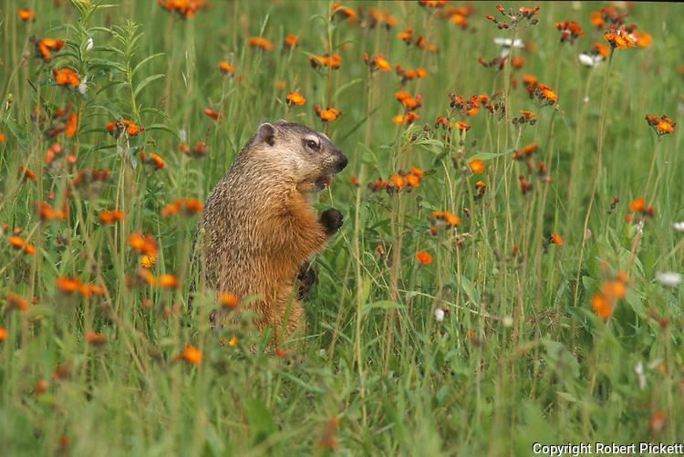 Groundhog, Marmota monax, in flower meadow, Minnesota, USA,