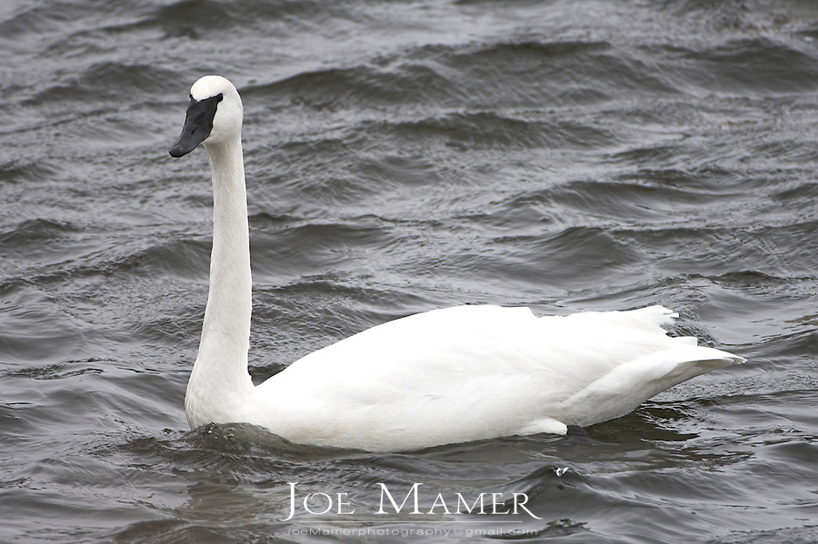 Adult trumpeter swan (Cygnus buccinator).