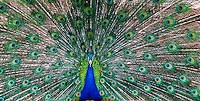 Peacock and Denver, Colorado, zoo.<br />
