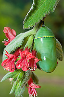 321000059 a lime green monarch butterfly danus plexippus chrysalis in the texas hill country in central texas