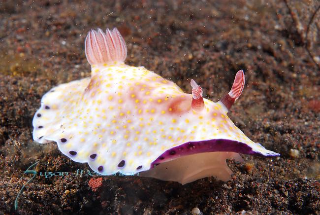 Chromodoris aureopurpureus, Underwater macro marine life images;  Photographed in Tulamben; Liberty Resort; Indonesia.Underwater Macro Photographer on FB 2nd Annual event