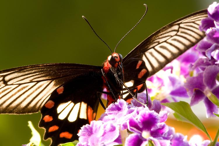 SE Asia, Thailand, Doi Inthanon, Papilio polytes romulus.