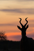 Silhouette of a Red Hartebeest at dusk