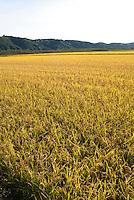 Coltivazioni di riso in Piemonte. Camino (Alessandria), 21 settembre 2011...Rice cultivation in Piedmont. Camino (Alessandria), september 21, 2011
