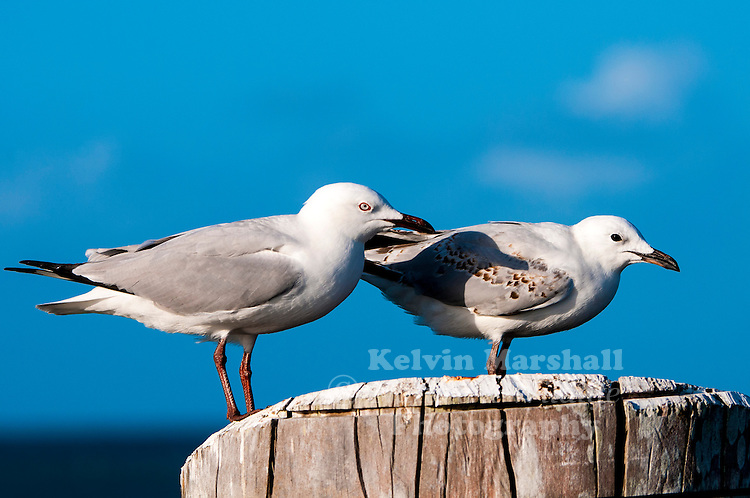 Silver gulls (Chroicocephalus novaehollandiae) also known simply as seagull in Australia, is the most common gull seen in Australia. It has been found throughout the continent, but particularly at or near coastal areas. Green Island (Cairns) - Far - North Queensland.