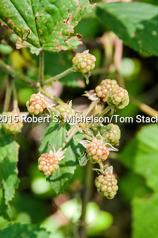 Wild Red Raspberries that have not yet ripened, vertical, Plymouth, Massachusetts