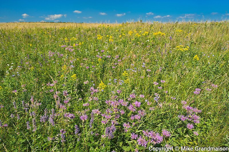 Bergamot in Fescue Prairie<br />