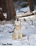 Gray wolf in winter. Yellowstone National Park, Wyoming.