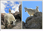 Mountain goats descending Mt Evans, Colorado. Private photo tours of Mt Evans. .  John leads private, wildlife photo tours throughout Colorado. Year-round.