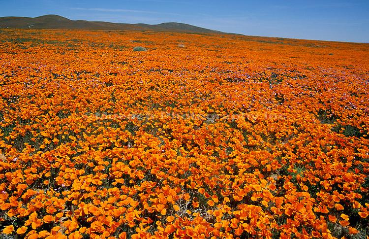 Poppy Field Antelope Valley California Poppy Reserve  CALIFORNIA