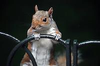A curious squirrel in a London park.