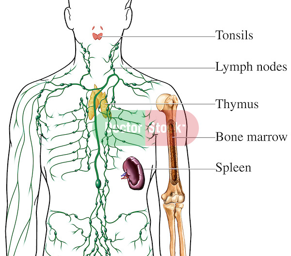 The Lymphatic (Immune) System, including labels for tonsils, lymph nodes, spleen, bone marrow and thymus gland.